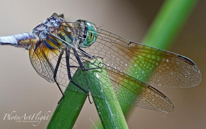 Dragonfly 6