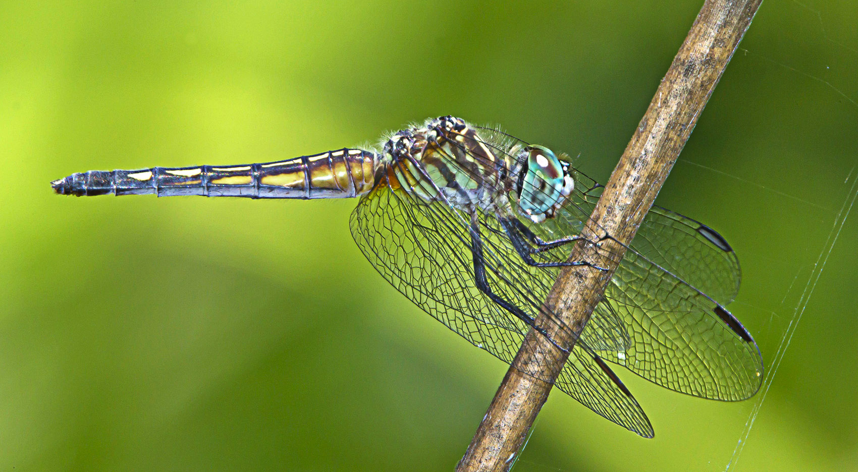 Blue Dasher at my Pond