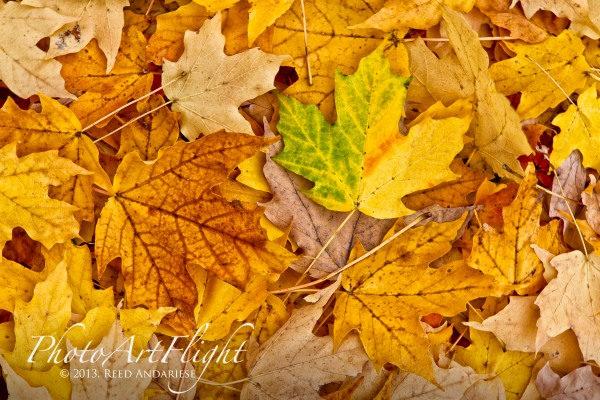 leaves_43G7898