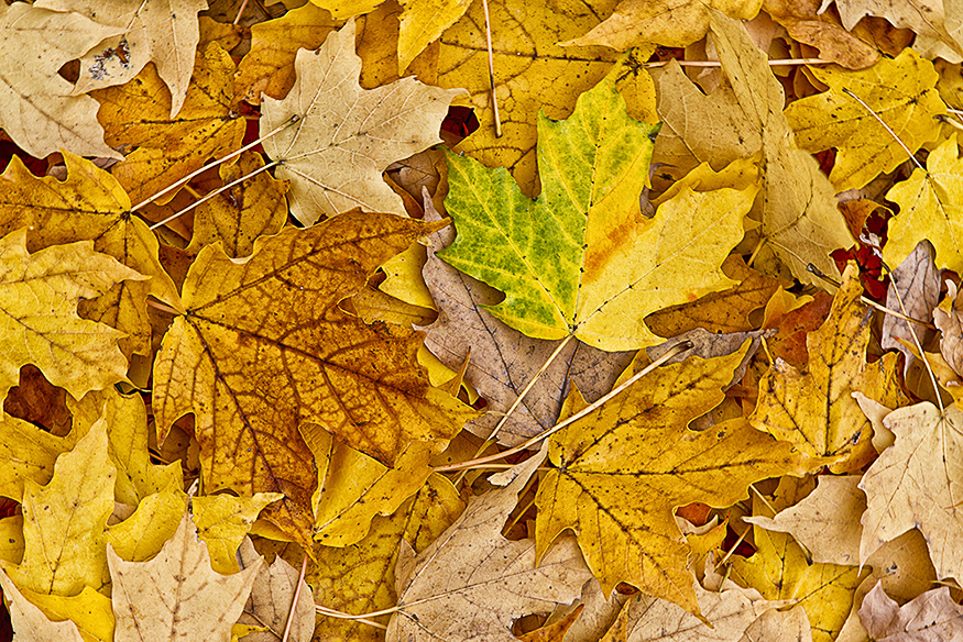 maple leaves_43G7898