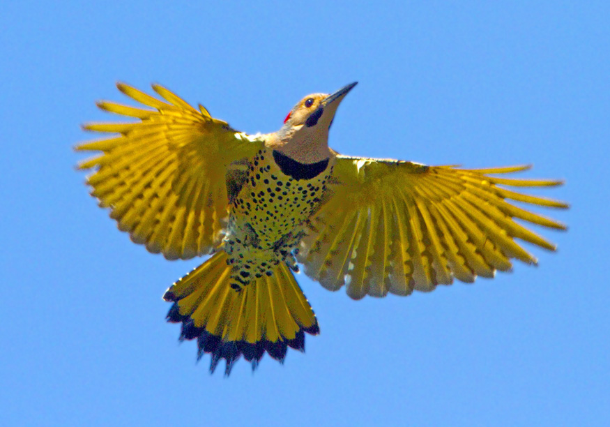 Yellow flicker bird - photo#1
