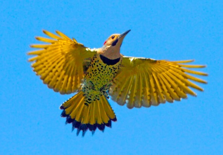Image result for yellow shafted flicker