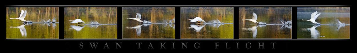 swan take off v3
