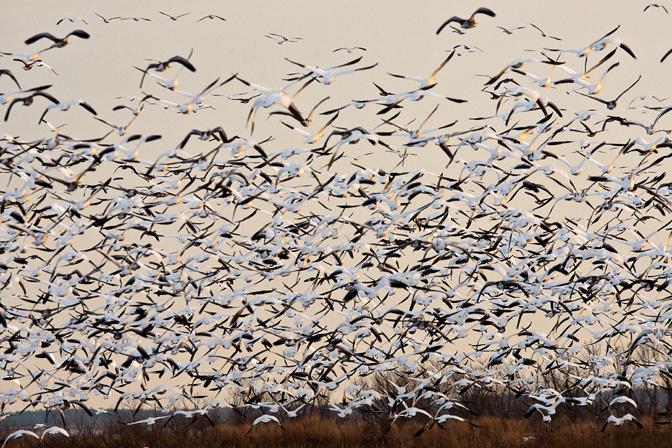bwr sno geese_80I0034