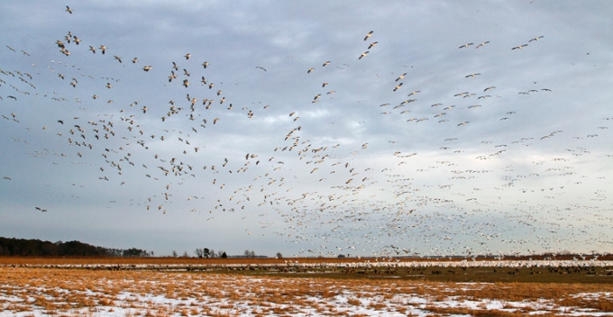 bwr sno geese_MG_2326