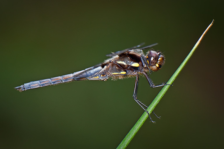 Blue Dasher_80I9925 v3