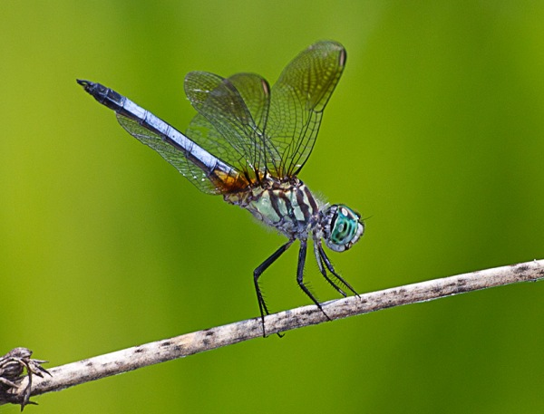 Blue_Dasher_43G9333 a