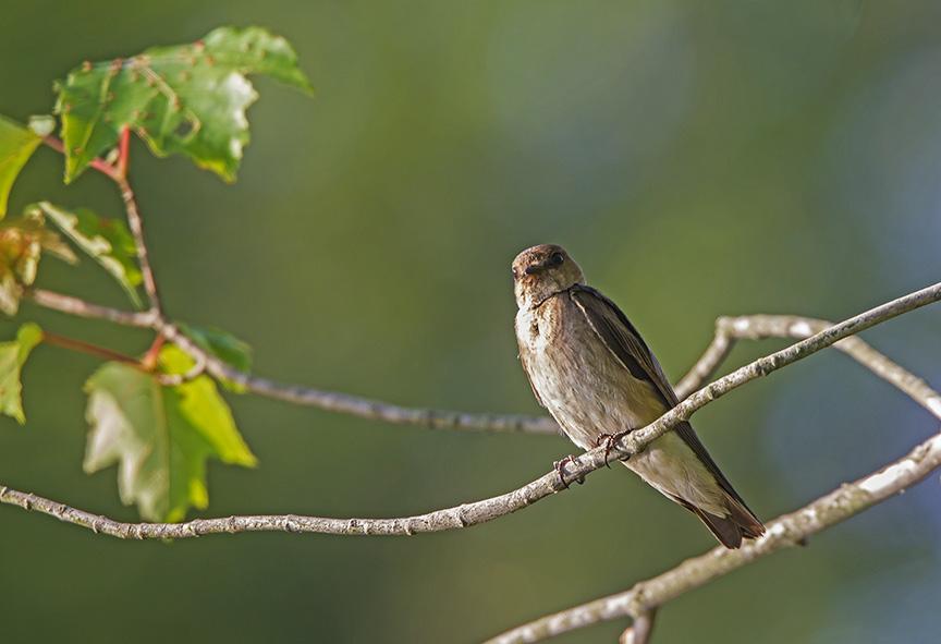 _43G0254 v1 Northn Rough-winged Swallow v4