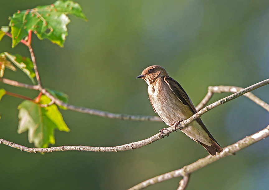 _43G0258 Northn Rough-winged Swallow adultv3