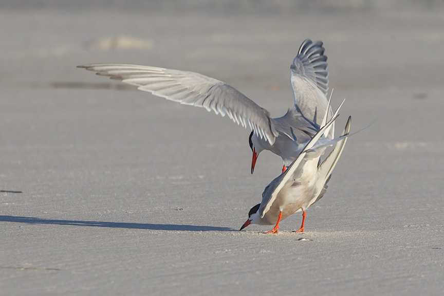_43G4100 nickerson common tern v2s