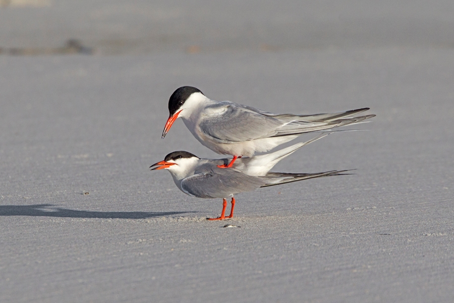 _43G4111 nickerson common terns v2