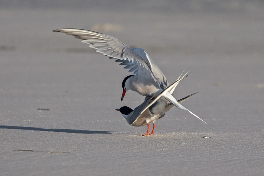_43G4146 nickerson common terns v2