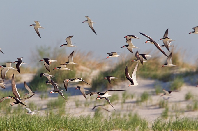 _43G5309a black skimmers