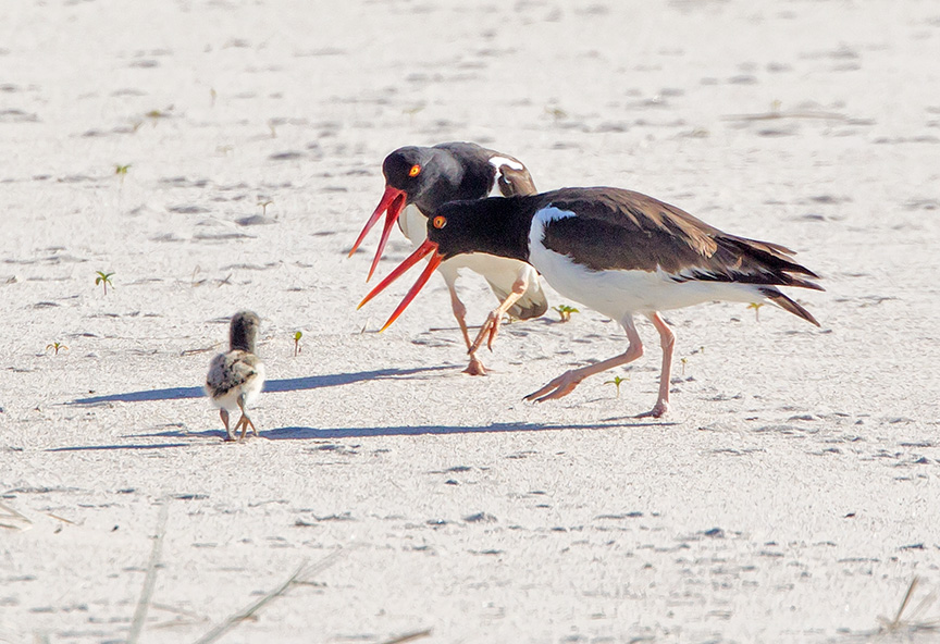 _43G6830 nickerson oystercatcher