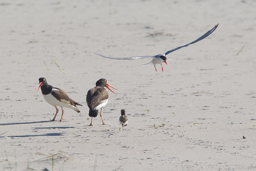 _43G6856 nickerson Oystercatchers v2