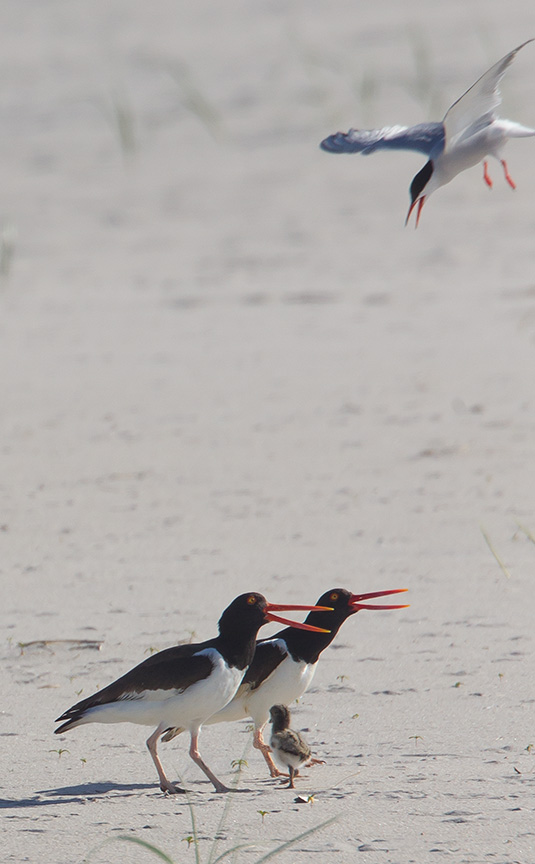 _43G6877 nickerson Oystercatcher v2