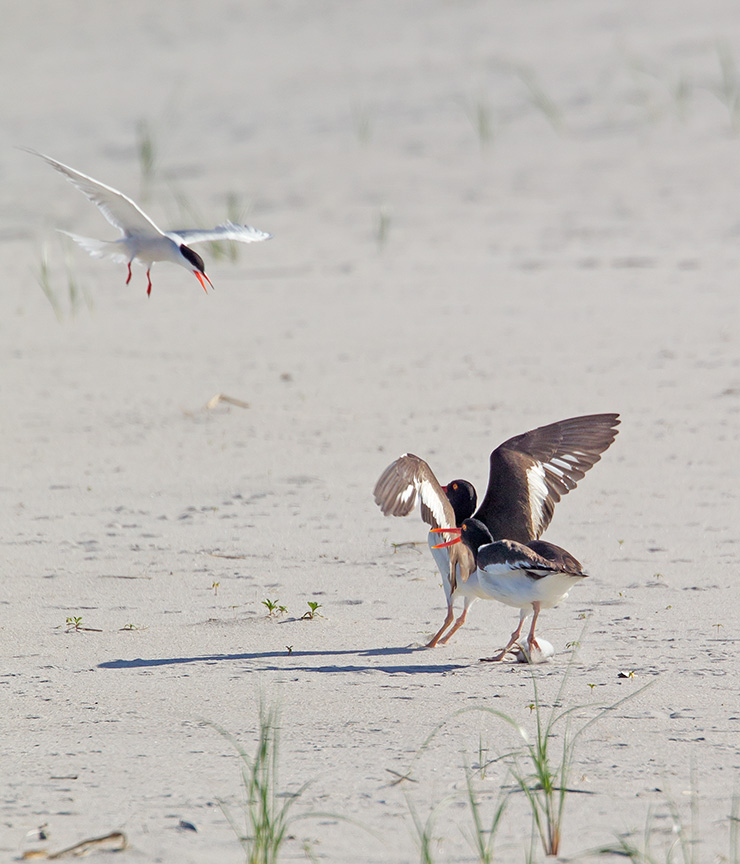 _43G6883 nickerson Oystercatcher v2