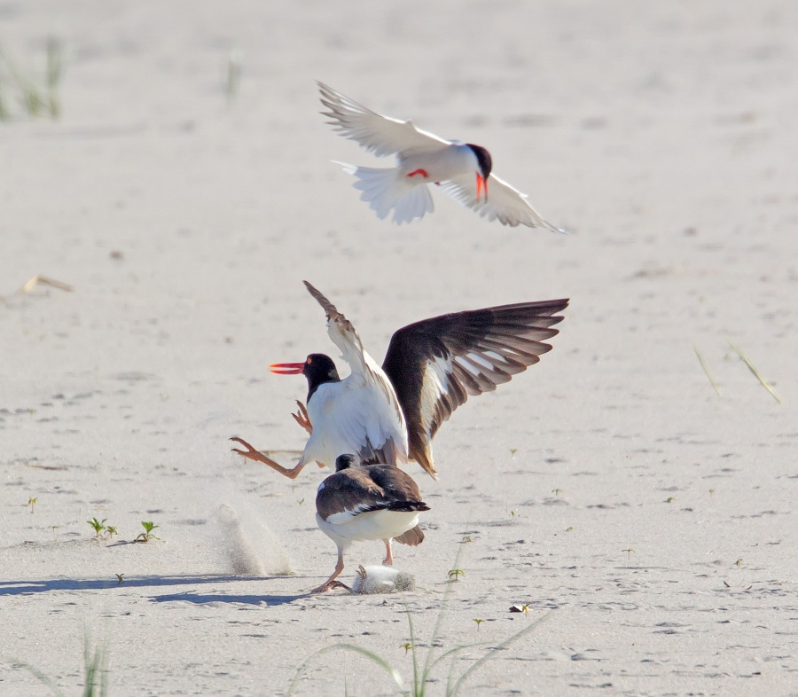 _43G6884 nickerson Oystercatcher v3