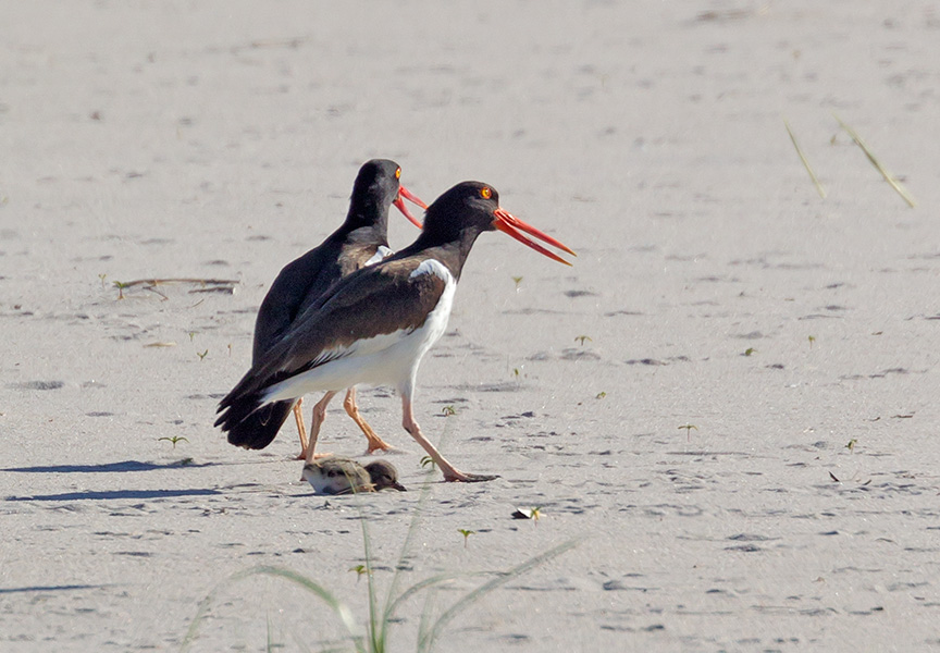 _43G6890  nickerson Oystercatcher v5
