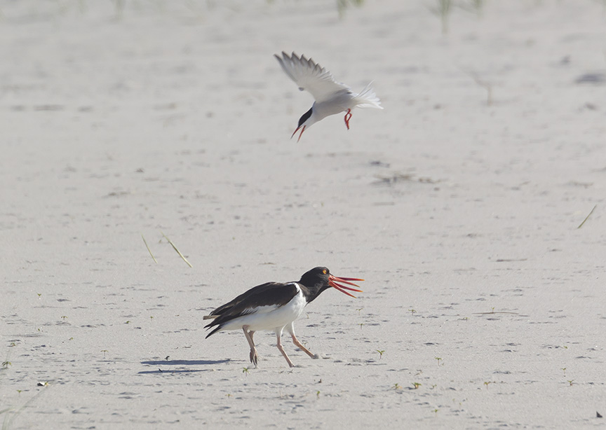 _43G6896 nickerson Oystercatcher v2