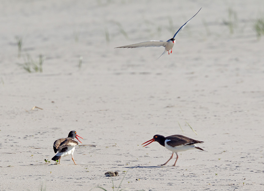 _43G6898 nickerson Oystercatcher v2