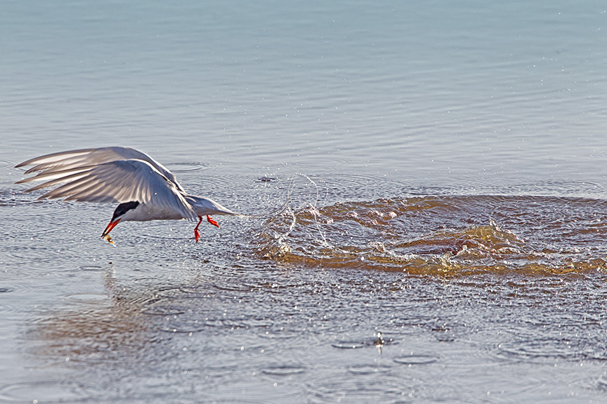 _43G0493 Brig Common Tern v2