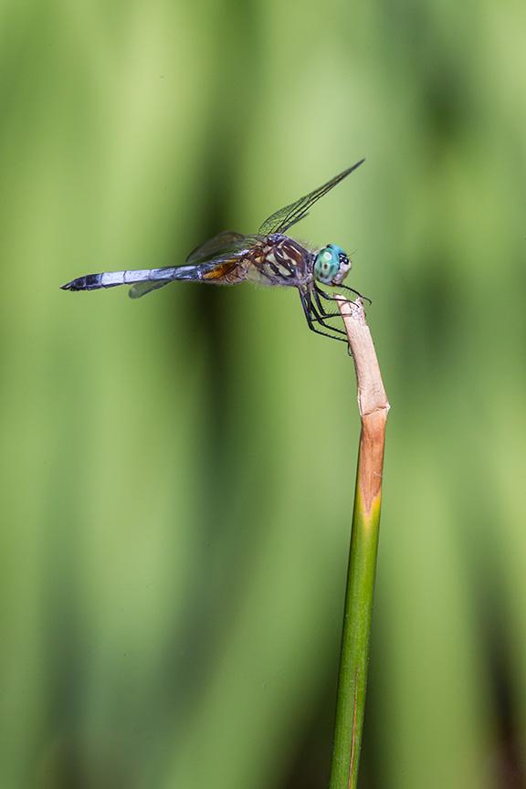 _43G1475 yd pond blue dasher v1