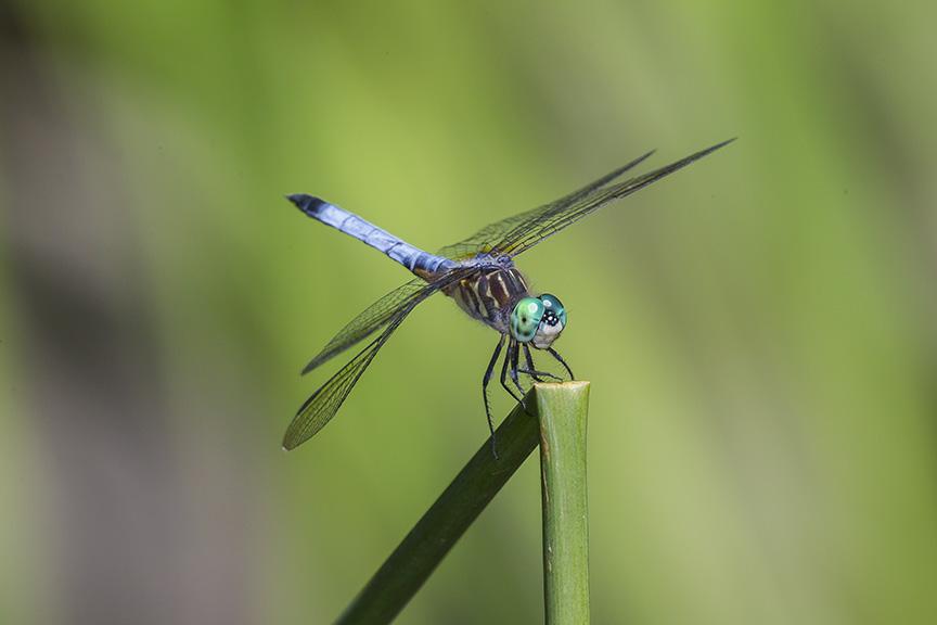 _43G1520 yd pond blue dasher v1