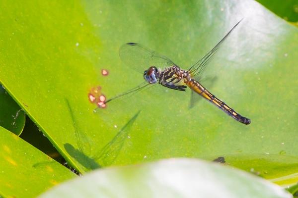 _43G3960 pond blue dasher female eggs v2