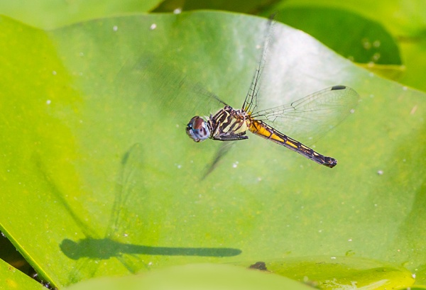 _43G3968 pond blue dasher female v4