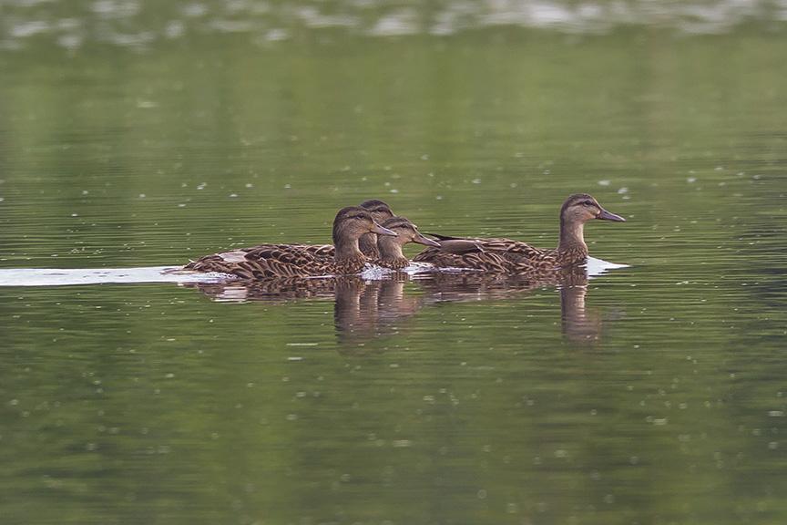 _43G4310 cf wood ducks v3