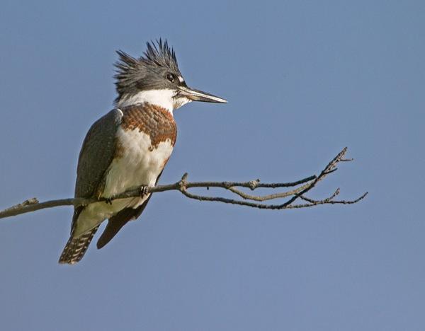 _43G4990 cf kingfisher v2