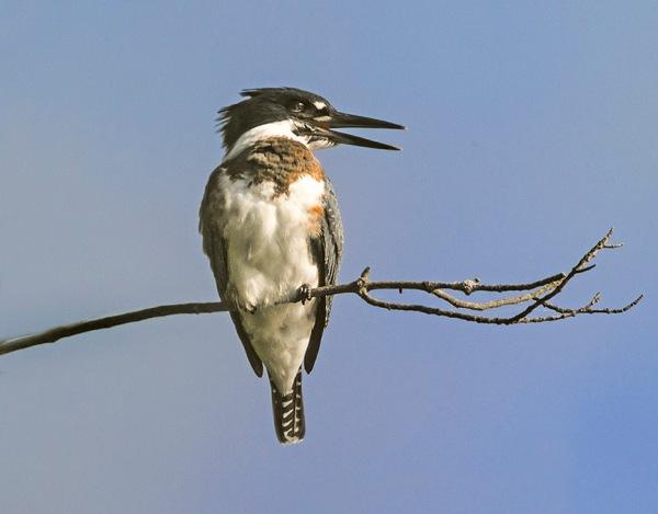 _43G5027 cf kingfisher v2