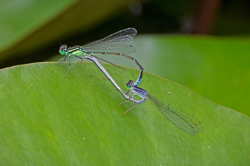 _43G5368 pond damselflies mating v3