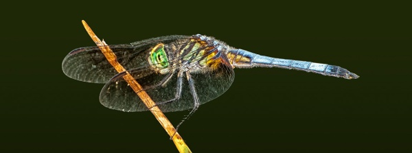 _80I9991 Blue Dasher dragonfly v4