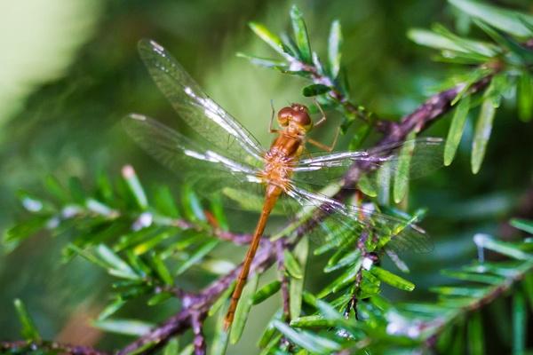 _MG_6976 Teneral Dragonfly v4