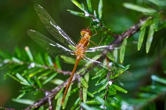 _MG_6990 Teneral Dragonfly v2