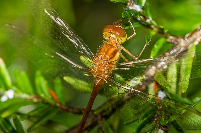 _MG_7050 Teneral Dragonfly v4