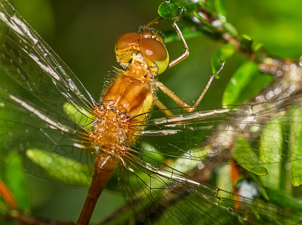 _MG_7050 Teneral Dragonfly v5