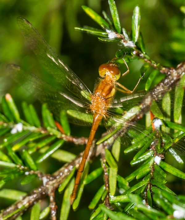 _MG_7056 Teneral Dragonfly v1