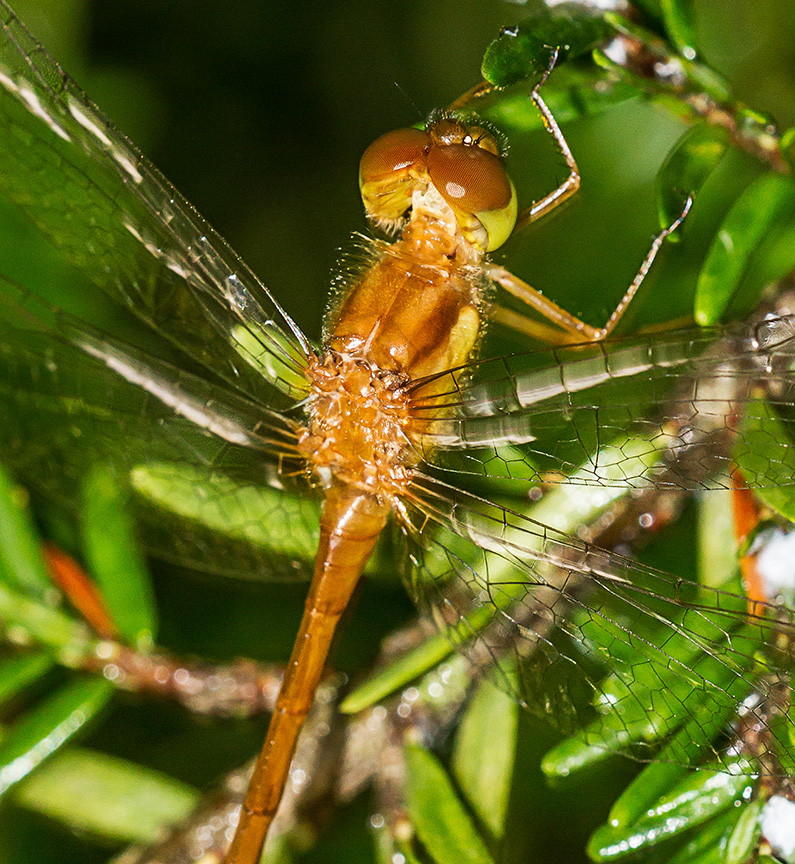 _MG_7056 Teneral Dragonfly v2