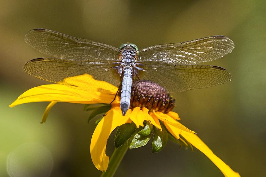 _MG_8712 pond blue dasher dragonfly v2