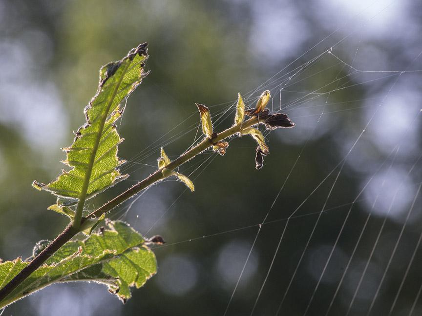 _1270361 cf weed spider web v1