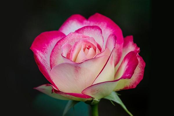 _43G1076 GW rose v3