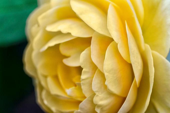 _43G1185 GW Yellow rose v2