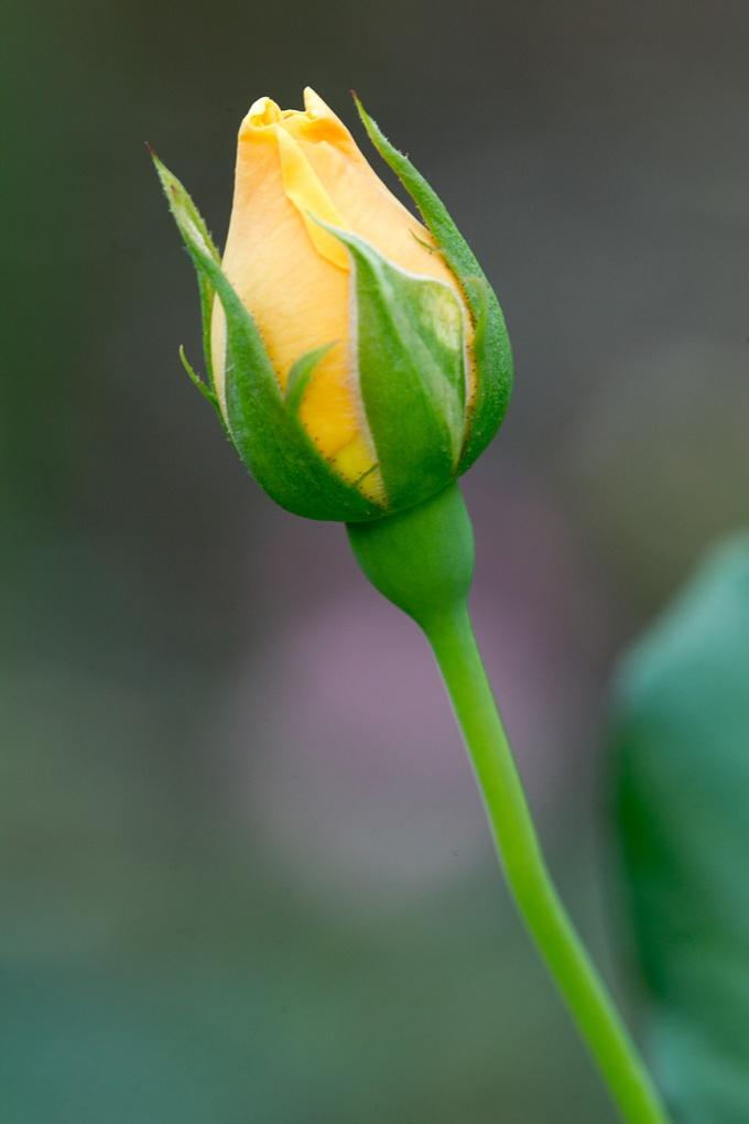 _43G1211 GW rose v1
