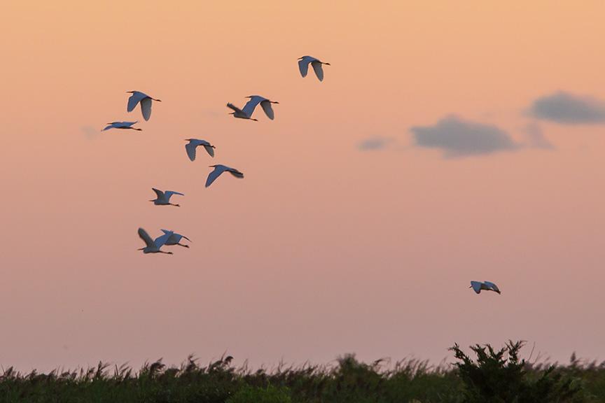 _43G2399 brig Egrets sunrise v2