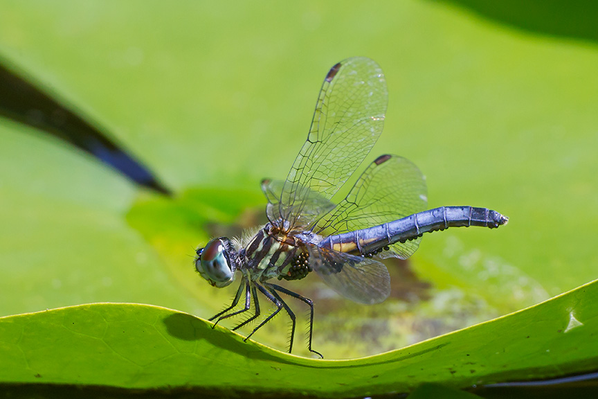 _43G6115 pond blue dasher w mites v2