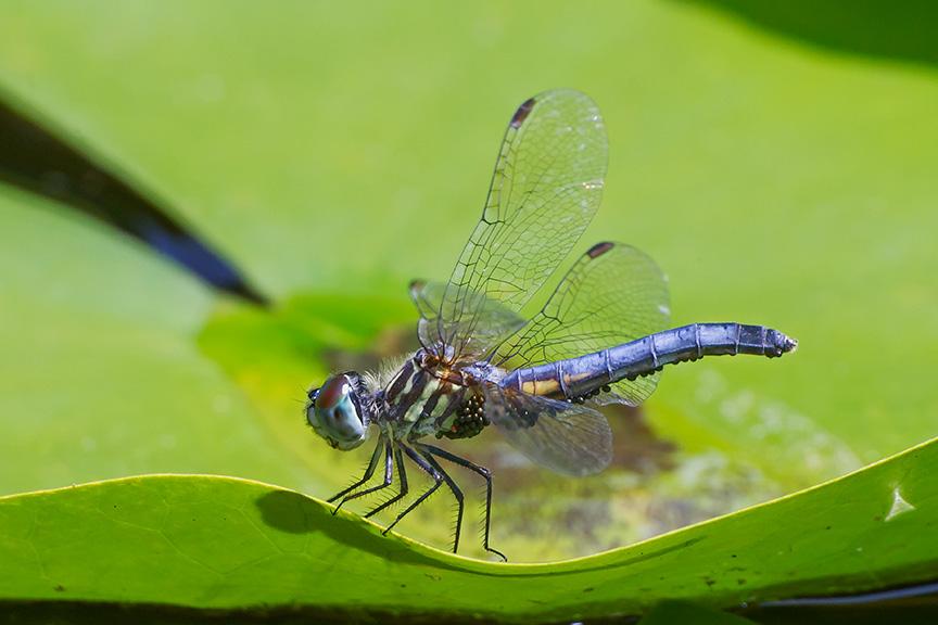 _43G6115 pond blue dasher w mites v2