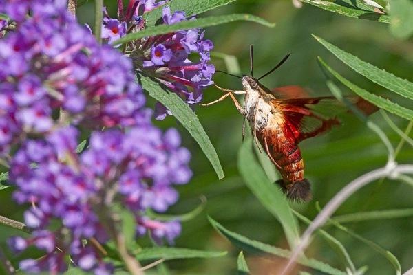 _43G6923 pond hummingbird moth v4